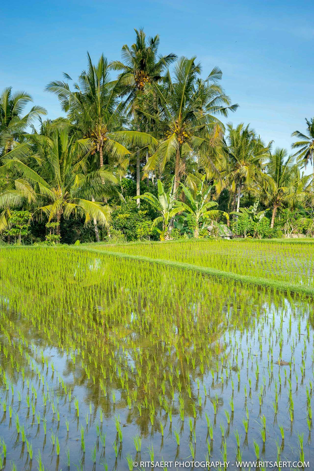 Growing the rice - Bali - Indonesia